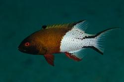 BD-150224-Ras-Mohammed-6544-Bodianus-anthioides-(Bennett.-1832)-[Lyretail-hogfish].jpg